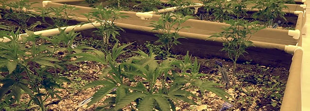 Cannabis plants in fabric raised bed.