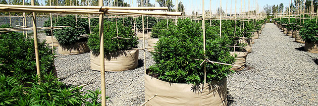 Cannabis plants with trellis in fabric pots at Wild West Growers.