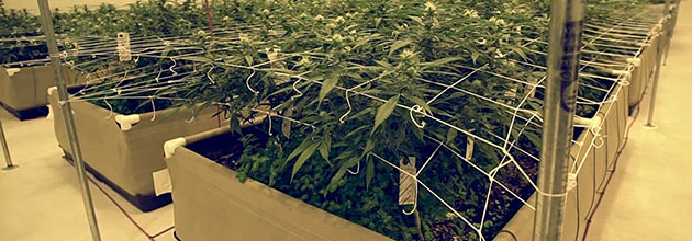 Cannabis plants with trellis in fabric raised beds.