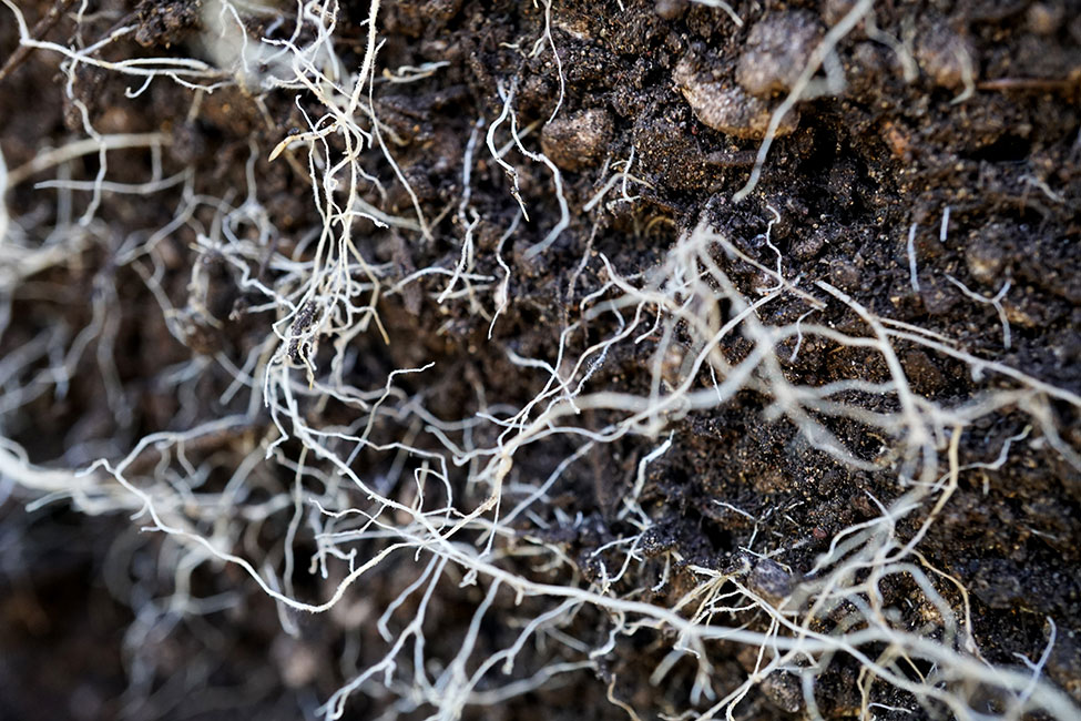 Cannabis Roots Closeup
