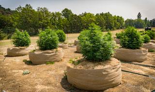 No-till farm with classic fabric pots.