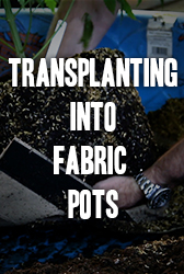Transplanting Into Fabric Pots